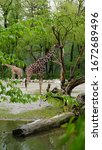 Two Giraffes Standing Between...