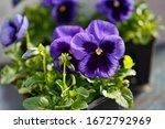 Dark Purple Pansy Viola Flower...