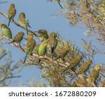 Wild Budgerigars Sitting On A...