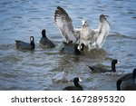 Aggressive Seagull In Water...