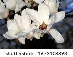 White Magnolia Blossoms In Tokyo