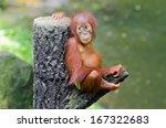 Orangutang  Pongo  Baby Sits O...