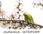 Rose Ringed Parakeet ...