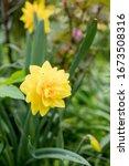 Narcissus  Golden Ducat In...