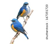 couple of himalayan bluetail... | Shutterstock . vector #167351720