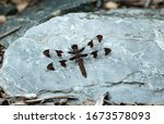 Female Common Whitetail Skimme...