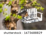 Fox Squirrel Raiding Bird Feeder