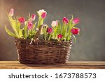 Tulips In Old Basket On Green...