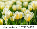 Beautiful Orange Tulips. Spring ...