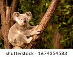 Koala On A Tree  Australia