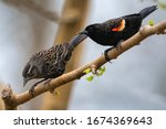 Red Wing Blackbird Pair on Mulberry Branch in March in Louisiana
