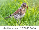Fieldfare Collects Worms On A...