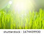 Green Grass With Morning Dew....