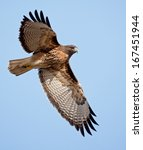 An Adult Red Tailed Hawk Flies...
