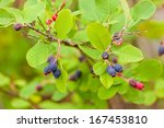 Small photo of Sweet blue Saskatoon Berries, Amelanchier alnifolia, ripen on bush in the wild