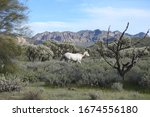 Wild Horse Roaming The Sonoran...