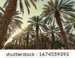 Date Palm Trees Plantation...