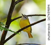 Small photo of Colorful Yellow Bird, Yellow-bellied Warbler (Abroscopus superciliaris) on a branch, in nature, in Thailand