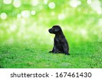 Black Beauty Puppy On The Gras...