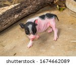 The Cute Little Pig That Just...