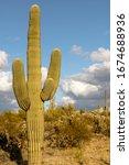 Closeup Of A Saguaro Cactus In...