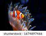 Bright Orange Clown Fish In...