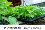 planting seedlings of farmers...   Shutterstock . vector #1674946483