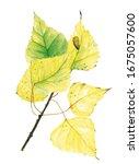 Illustration Of A Poplar...