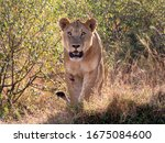 Photo Of Lioness Walking...