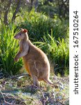 Small photo of Australian agile wallaby on beach. Jervis Bay National Park, New South Wales, Australia