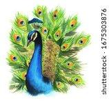 Watercolor Peacock Colorful ...