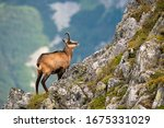 Small photo of Vital tatra chamois, rupicapra rupicapra tatrica, climbing rocky hillside in mountains. Wild mammal looking up the cliff with copy space in High Tatras national park, Slovakia.
