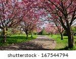Cherry Blossom Pathway Through...