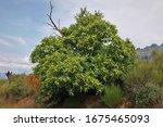 A Sweet Chestnut  Castanea...