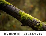 Fallen Tree Trunk Covered With...