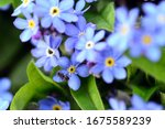 Close Up Of Myosotis Flowers...