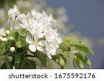 Pear Blossom  Spring Garden...