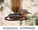 A Closeup Shot Of A House Finch ...