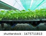 growing seedlings of farmers to ...   Shutterstock . vector #1675711813