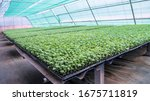 the cultivation of seedlings of ...   Shutterstock . vector #1675711819