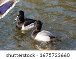 A Male Ring Necked Duck And A...