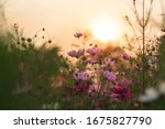 The Cosmos Flower Garden At...