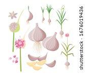 Garlic Plant Growing  ...