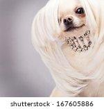 Chihuahua Dog With Long Hair...