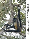 Central American Spider Monkey...