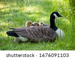 Canada Goose With Three...