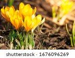 Spring Primroses. Blooming...