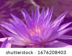 close ups violet purple lotus... | Shutterstock . vector #1676208403