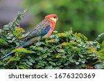 Rosella Parakeet  Platycercus...
