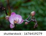 Purple Orchid Flower Close Up...